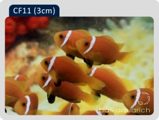 玫瑰小丑 Amphiprion Nigripes (Maldives Clownfish)