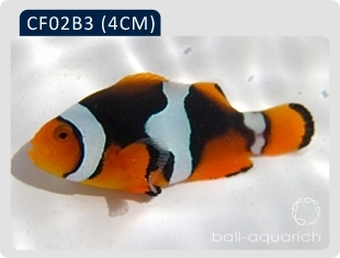 黑邊公子(黑B3)Amphiprion Percula(black)