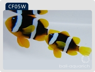 白眉印度洋雙帶 Amphiprion Clarkii (INDIAN White Eyebrow)