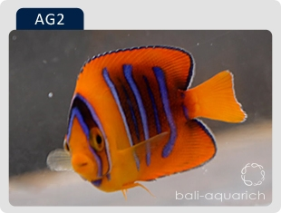 AG2  clarion angelfish