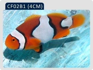 黑邊公子(黑B1)Amphiprion Percula(black)